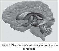 Nucleos amigdalianos