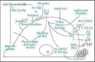 Papel de las células endoteliales (ECg)