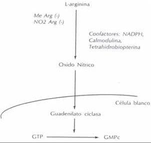 Formación del ÓXIDO NÍTRICO a partir de L-arginina.