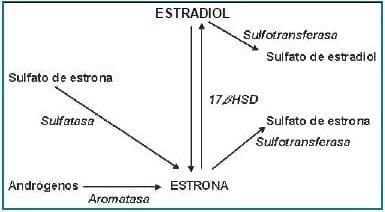 Transformación metabólica de los estrógenos en el tejido mamario (47).