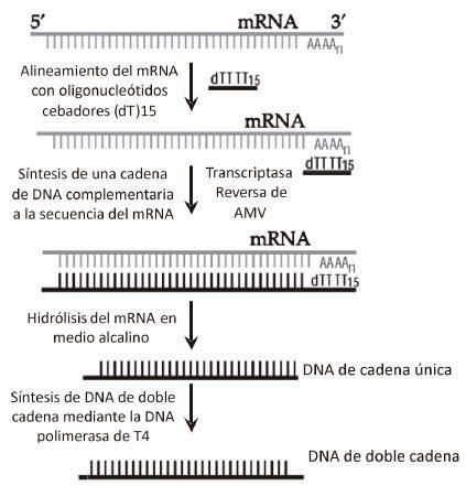 Síntesis de DNA complementario