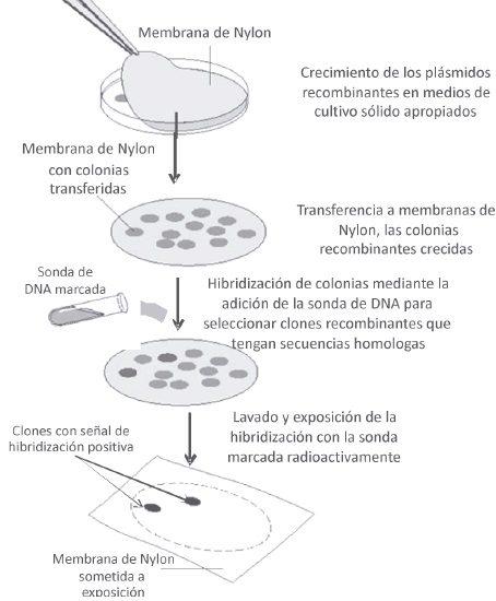 Método de hibridización en colonias