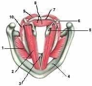 Músculos laríngeos