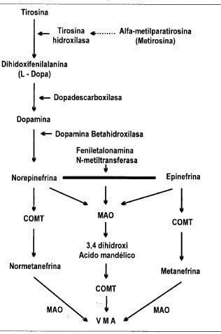 Biosíntesis y metabolismo de las catecolaminas