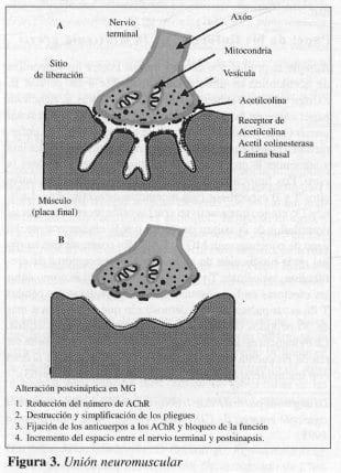 Unión Neuromuscular