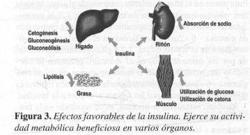 Efectos favorables de la Insulina
