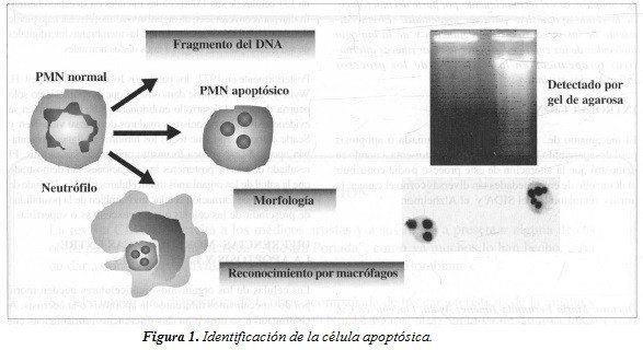 Identificación de la Célula Apoptósica
