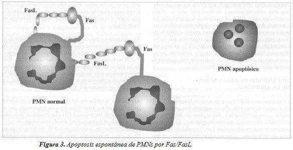Apoptosis Espontánea de PMNs por Fas/FasL