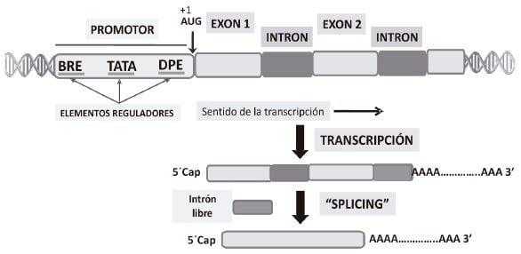 Estructura general de un gen eucariótico