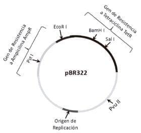 Restricción del plásmido vector pBR322