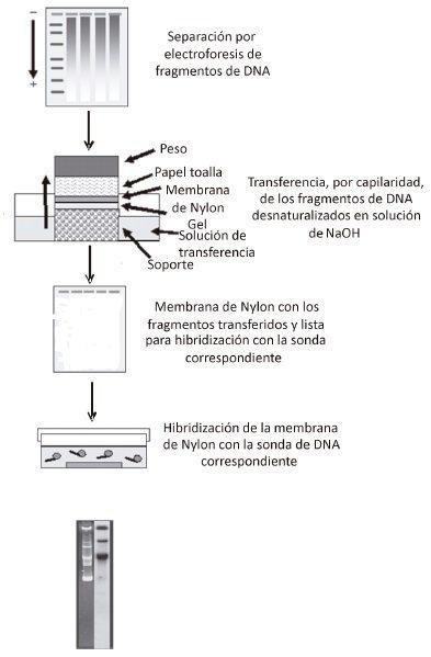 Método de transferencia de DNA