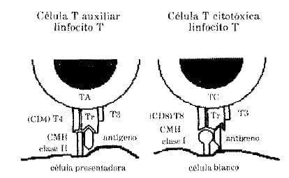 Células Ffectoras más importantes en la Respuesta Inmune