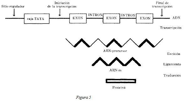 Estructura del Gen está Compuesta por Exones e Intrones