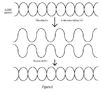 ADN Disociación o desnaturalización