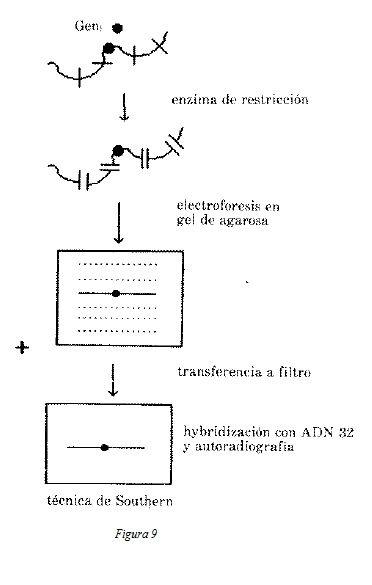 Restricción de Fragmentos de Longitud con Polimorfismo