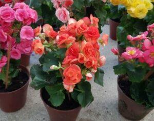 Plantas para interiores - Begonias