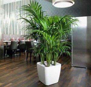 Plantas para interiores - Kentia