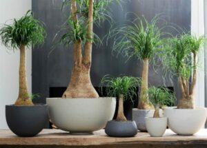 Plantas para interiores - Pata de Elefante