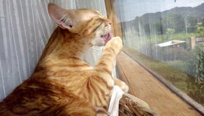 Bolas de pelos en gatos