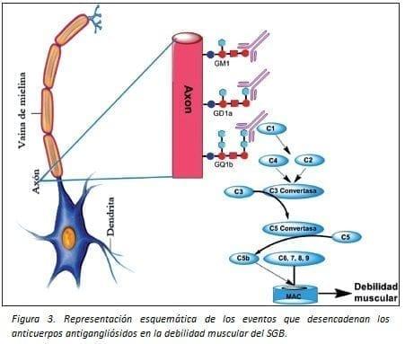 Anticuerpos Antigangliósidos en la debilidad muscular del SGB