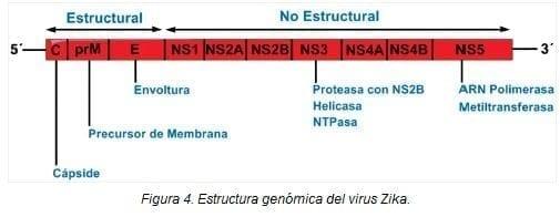 Estructura Genómica del Virus Zika