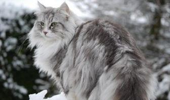 Gato Bosque de Noruega