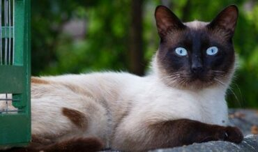 Gato Siamés