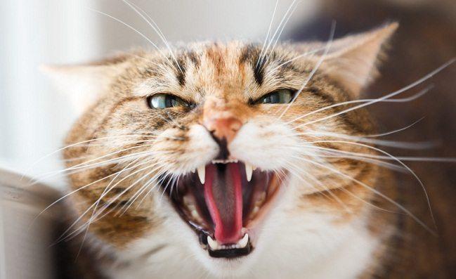 Enfermedades Dentales en Gatos