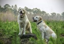 Peso-Ideal-Perros-Raza
