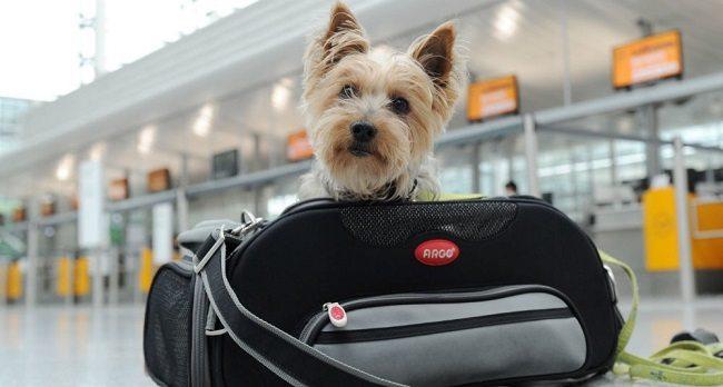 Viajar en avión con mascota