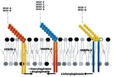 Esquema de compatibilidad de unión entre factores de crecimiento y sus receptores