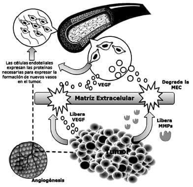 VEGF - en la angiogénesis tumoral