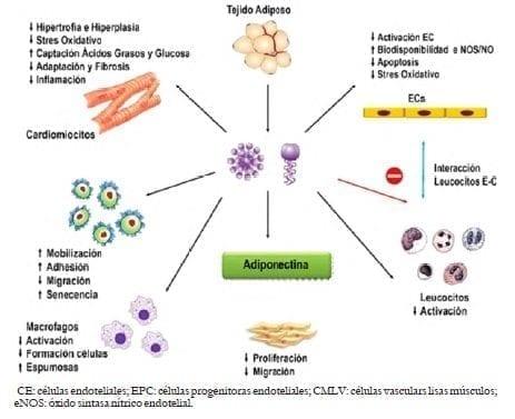 adiponectina obesidad diabetes dieta