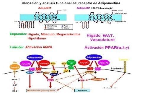 Efectos del receptor de adiponectina