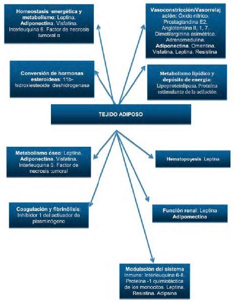 Funciones del tejido adiposo