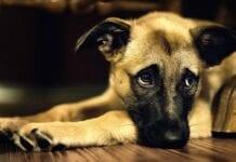 Perro-Esta-Deprimido