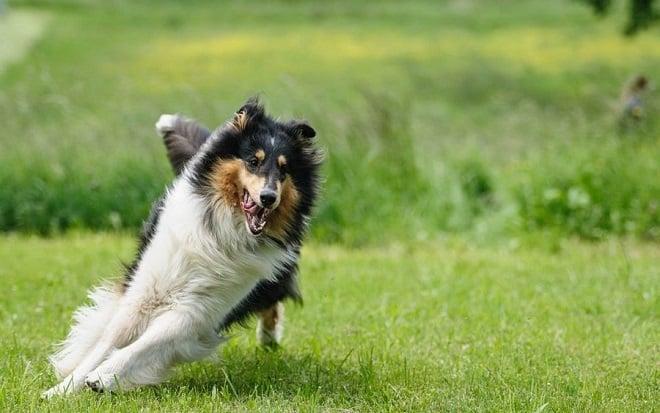 paro cardiaco en perros
