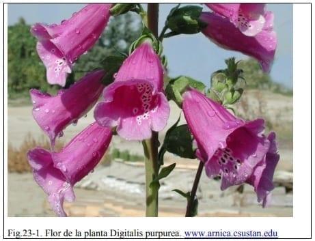Flor de la planta Digitalis purpurea