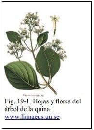 Hojas y flores del árbol de la quina