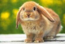 enfermedades comunes en los conejos