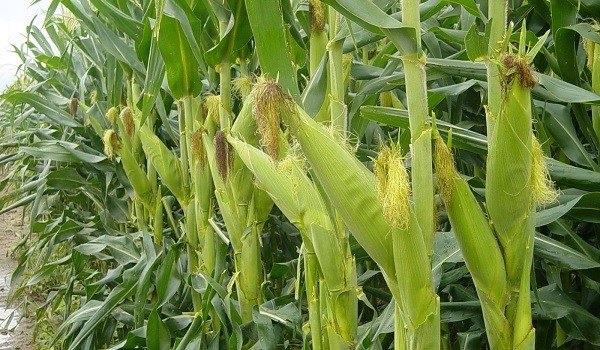 Enfermedades del maíz y su manejo