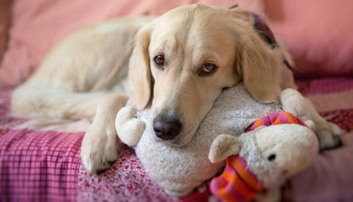 Embarazo Psicológico en las Mascotas