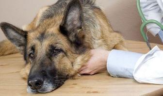Moquillo: Síntomas, Tratamiento y Prevención