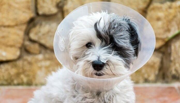 Cuidados Post Operatorios en Perros y Gatos