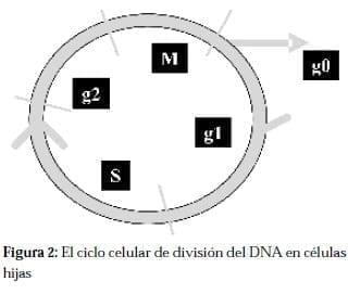 Ciclo Celular de división del DNA en Células Hijas