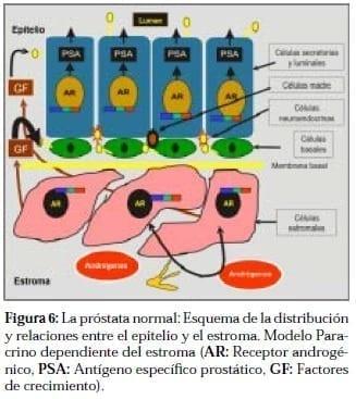 Próstata Normal: Esquema entre Epitelio y Estroma