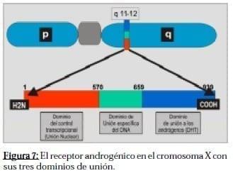 Receptor Androgénico en el Cromosoma X