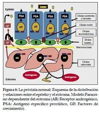 Esquema de la distribución y relaciones entre el epitelio y el estroma