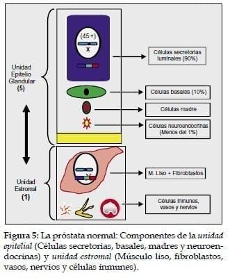 Próstata normal: Componentes de la unidad epitelial