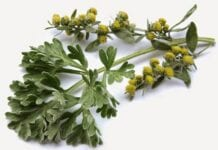 Ajenjo Artemisia Amarga
